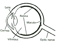 Visual rehab low vision devices welcome eye diagram amd is most prevalent in women smokers and light eyed people poor nutrition race and genetics may also play a role wet and dry macular ccuart Gallery